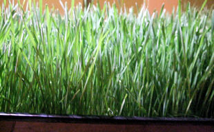 wheatgrass day 13 (planted 12 days ago) side view