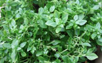 greek bush basil